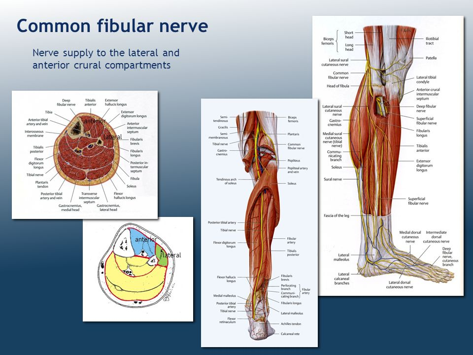 Common fibular nerve Nerve supply to the lateral and anterior crural compartments. anterior. lateral.