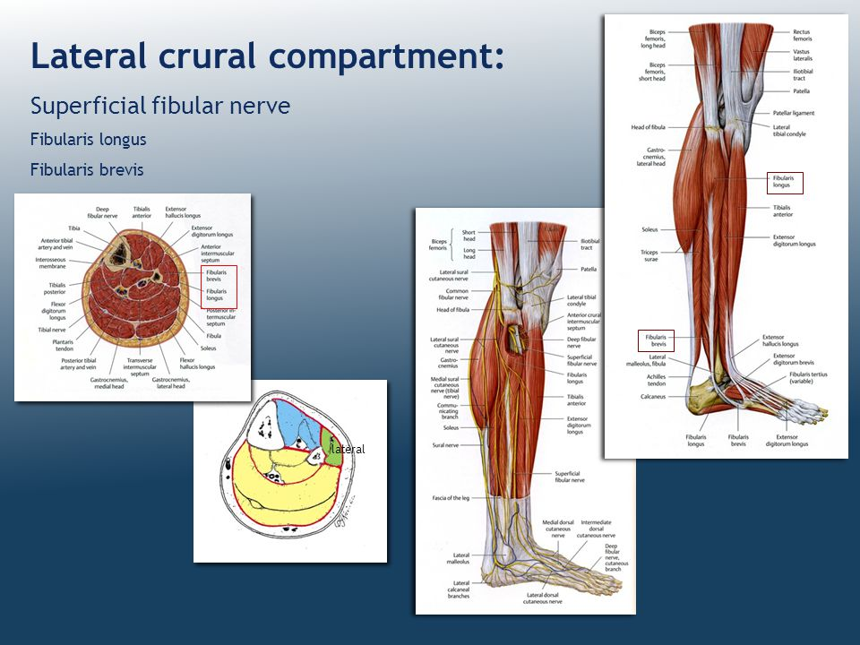Lateral crural compartment: