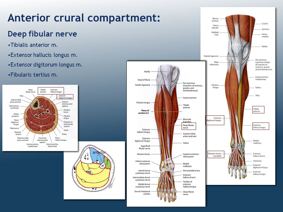Anterior crural compartment: