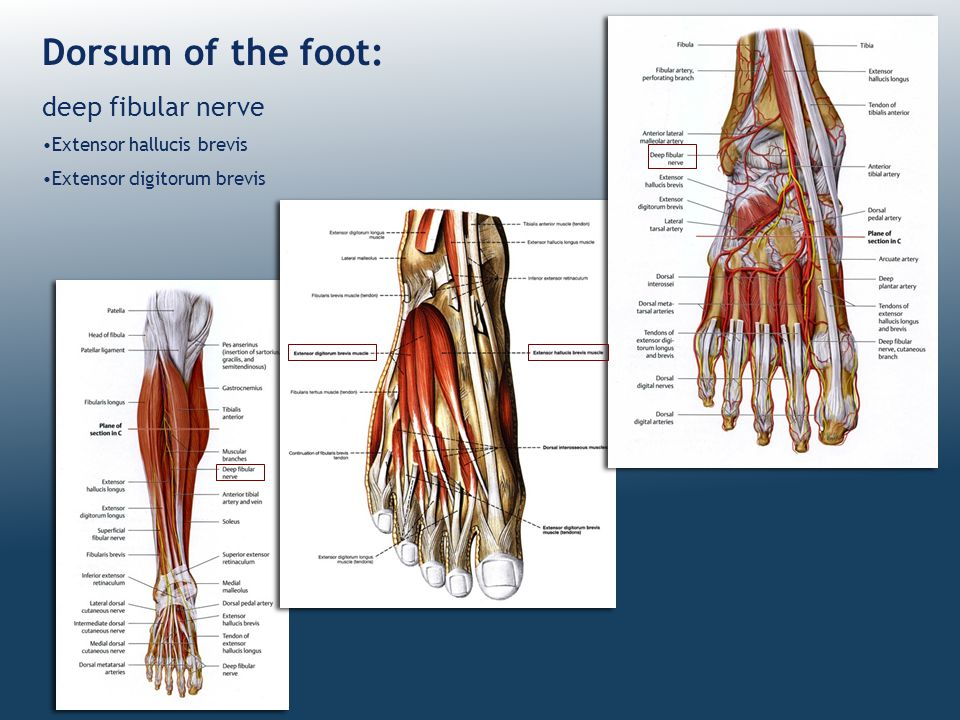 Dorsum of the foot: deep fibular nerve Extensor hallucis brevis
