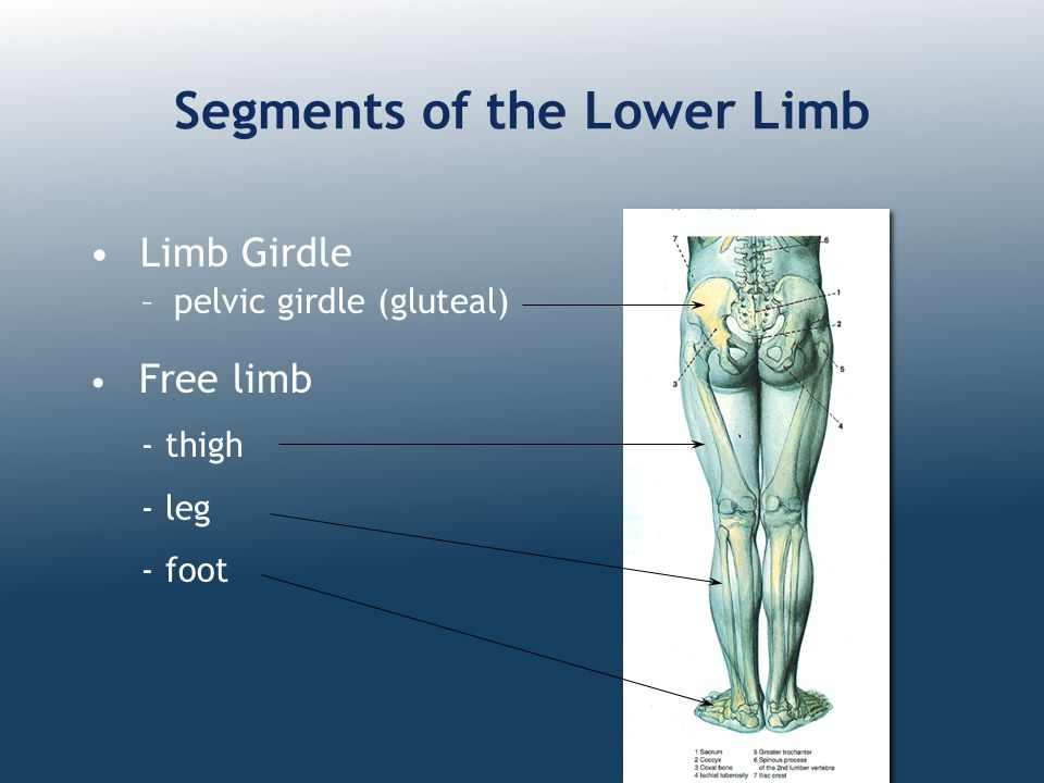Segments of the Lower Limb