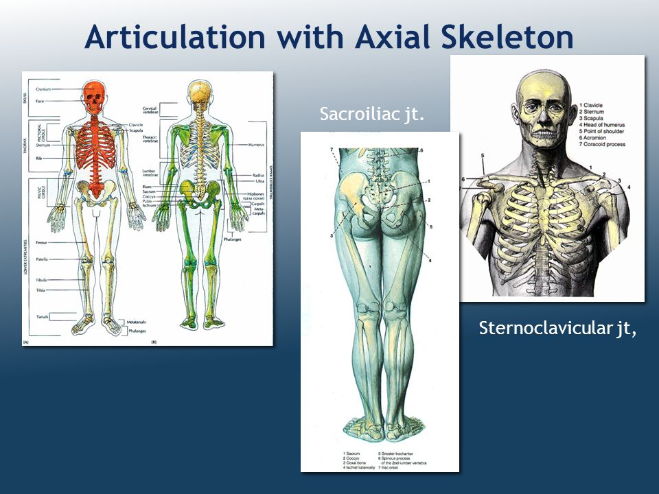 Articulation with Axial Skeleton