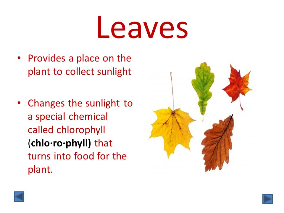 Leaves Provides a place on the plant to collect sunlight