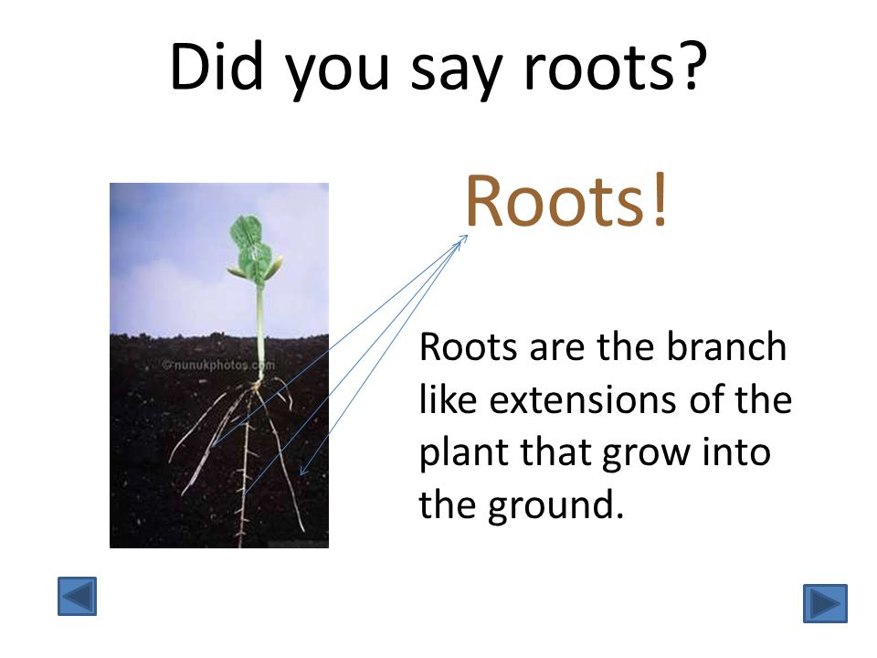 Did you say roots. Roots.