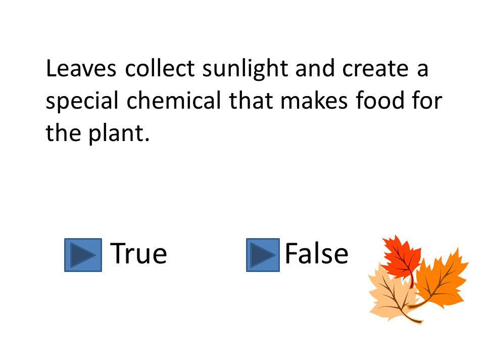 Leaves collect sunlight and create a special chemical that makes food for the plant.