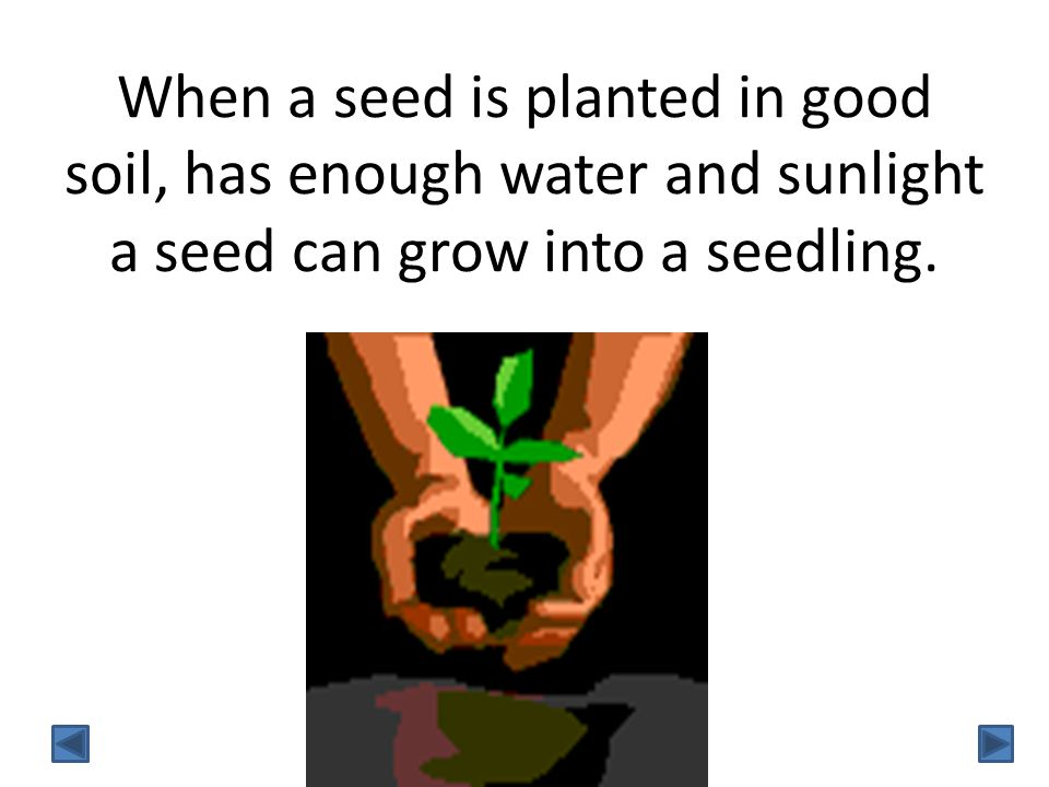 When a seed is planted in good soil, has enough water and sunlight a seed can grow into a seedling.
