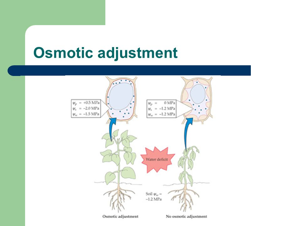 Osmotic adjustment