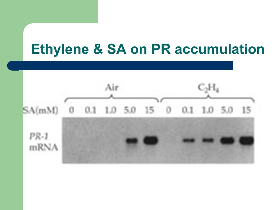 Ethylene & SA on PR accumulation