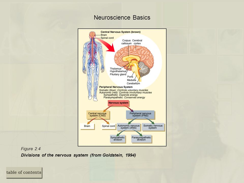 Neuroscience Basics Figure 2.4