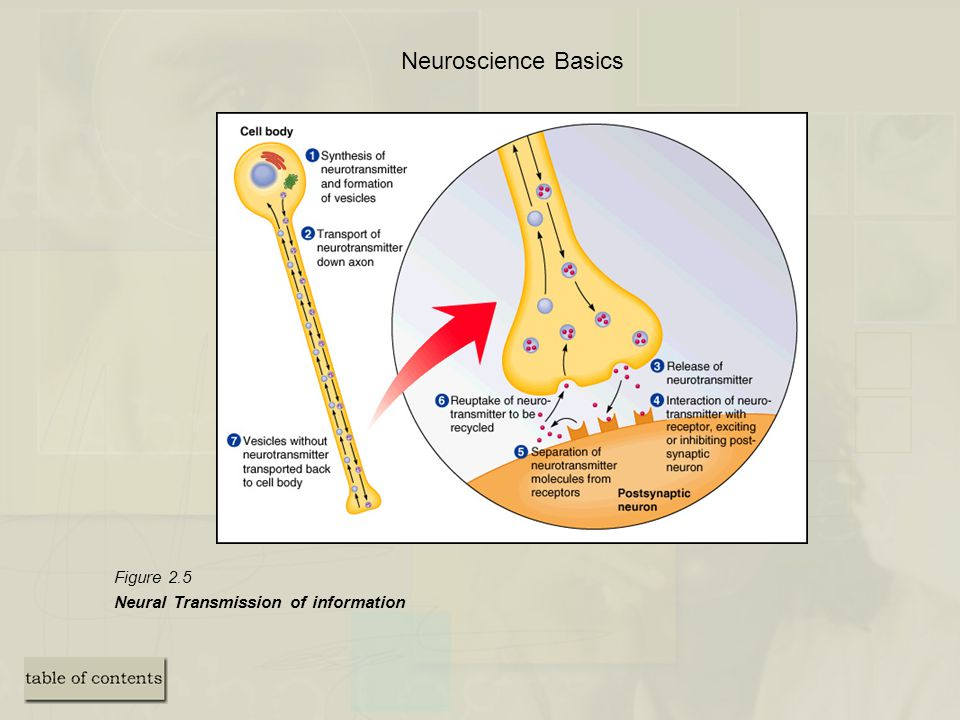 Neuroscience Basics Figure 2.5 Neural Transmission of information