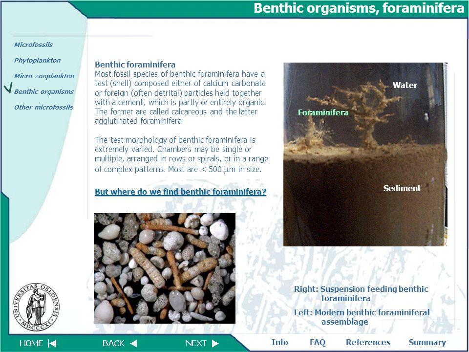 Benthic organisms, foraminifera
