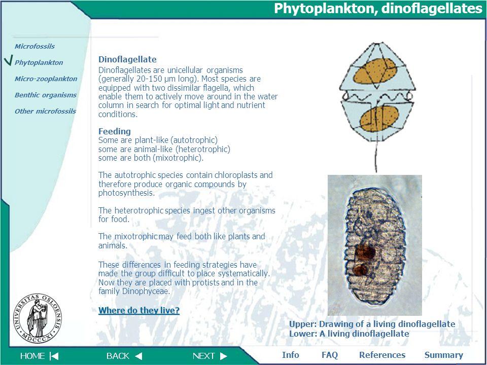 Phytoplankton, dinoflagellates