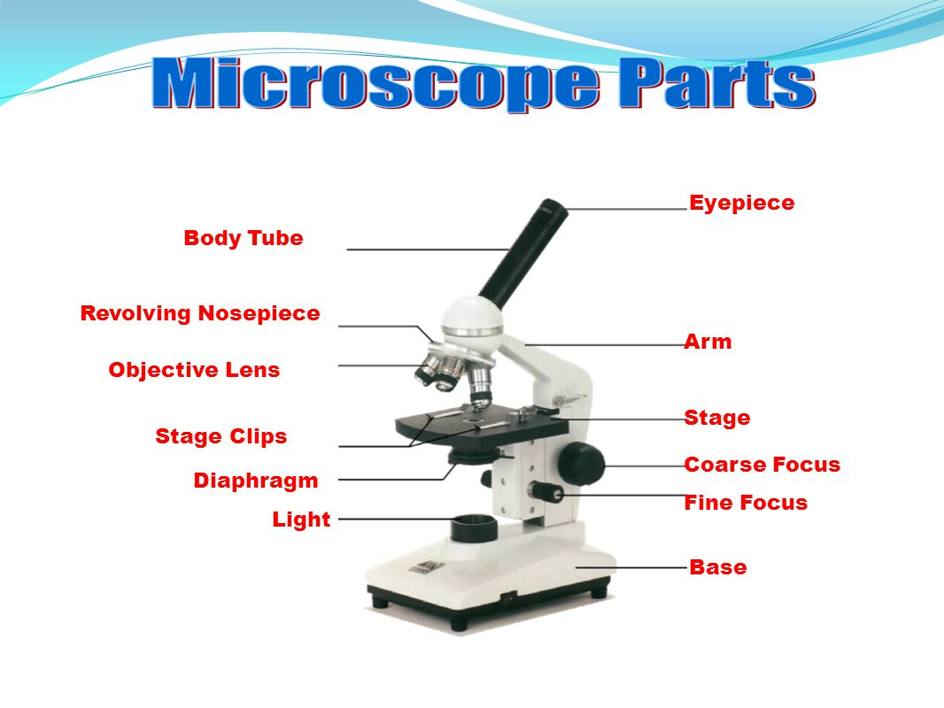 Eyepiece Body Tube Revolving Nosepiece Arm Objective Lens Stage