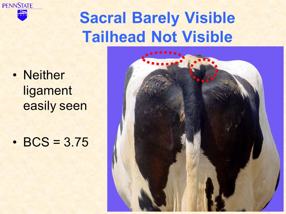 Sacral Barely Visible Tailhead Not Visible