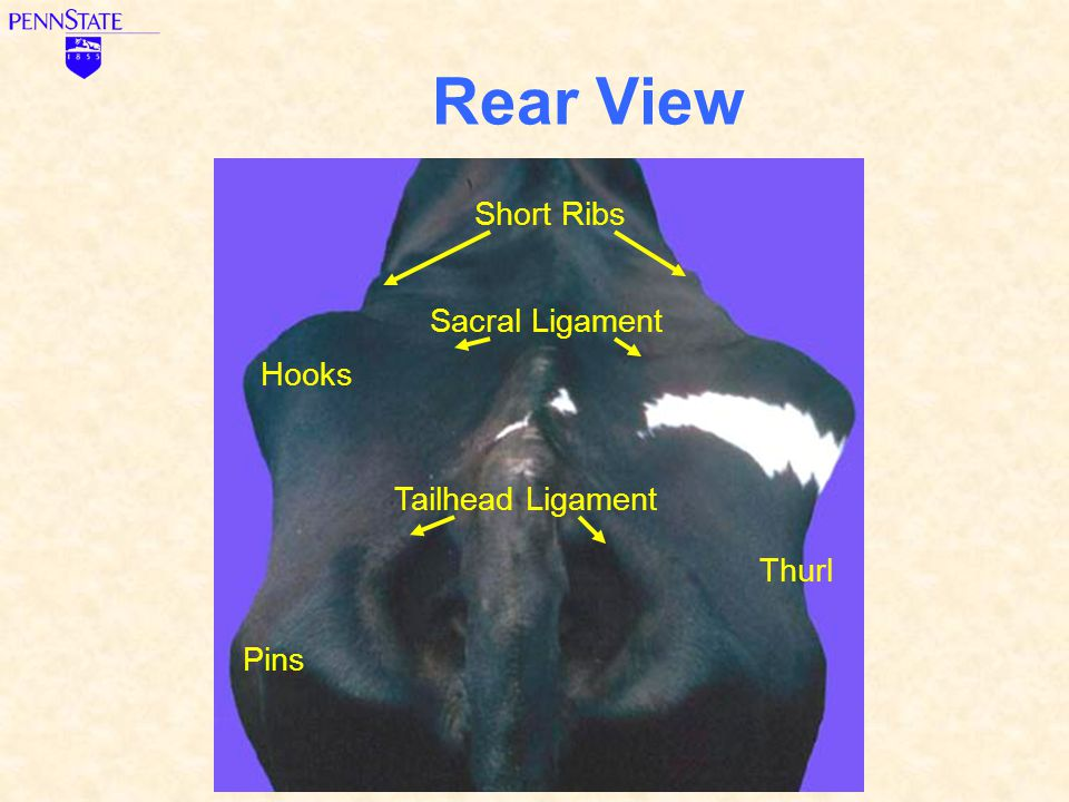 Rear View Short Ribs Sacral Ligament Hooks Tailhead Ligament Thurl