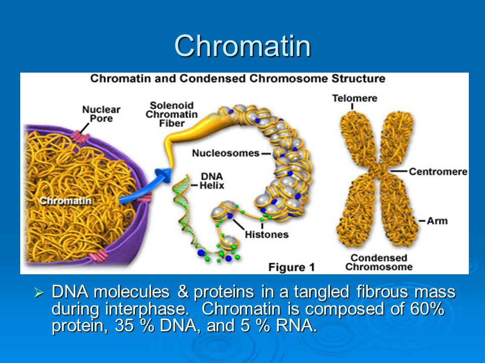 Chromatin DNA molecules & proteins in a tangled fibrous mass during interphase.
