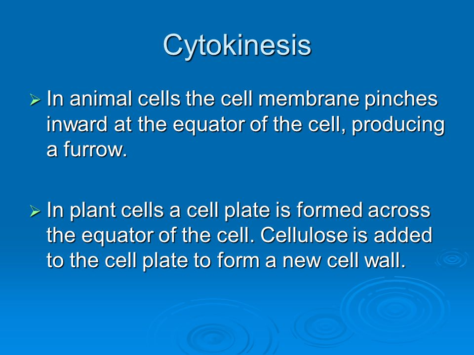 Cytokinesis In animal cells the cell membrane pinches inward at the equator of the cell, producing a furrow.