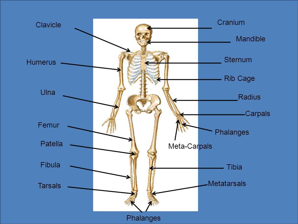 Cranium Clavicle. Mandible. Sternum. Humerus. Rib Cage. Ulna. Radius. Carpals. Femur. Phalanges.
