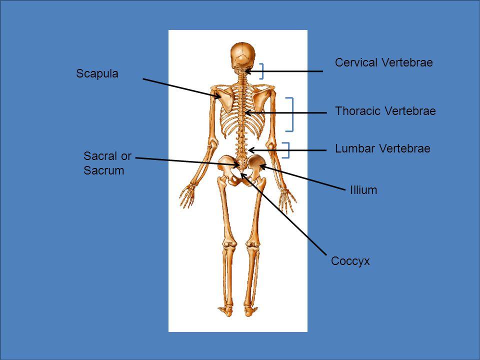 Cervical Vertebrae Scapula Thoracic Vertebrae Lumbar Vertebrae Sacral or Sacrum Illium Coccyx