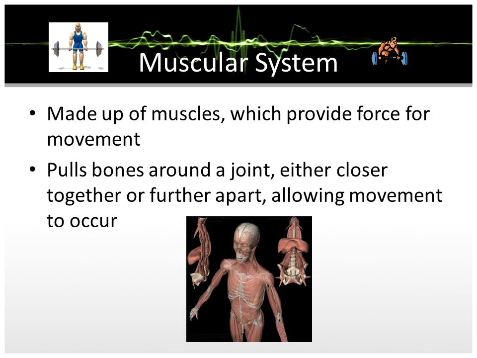 Muscular System Made up of muscles, which provide force for movement