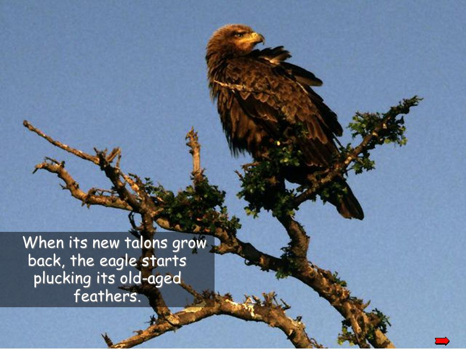 When its' new talons grow back, the eagle starts plucking its' old-aged feathers