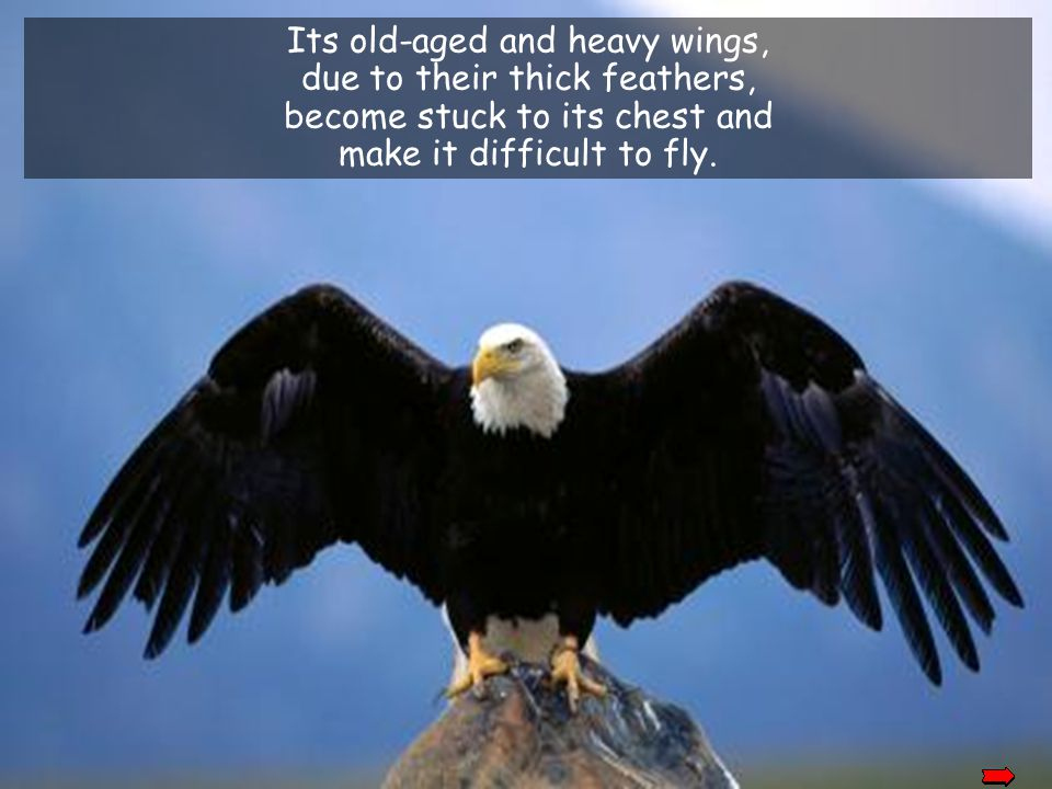 Its old-aged and heavy wings, due to their thick feathers,