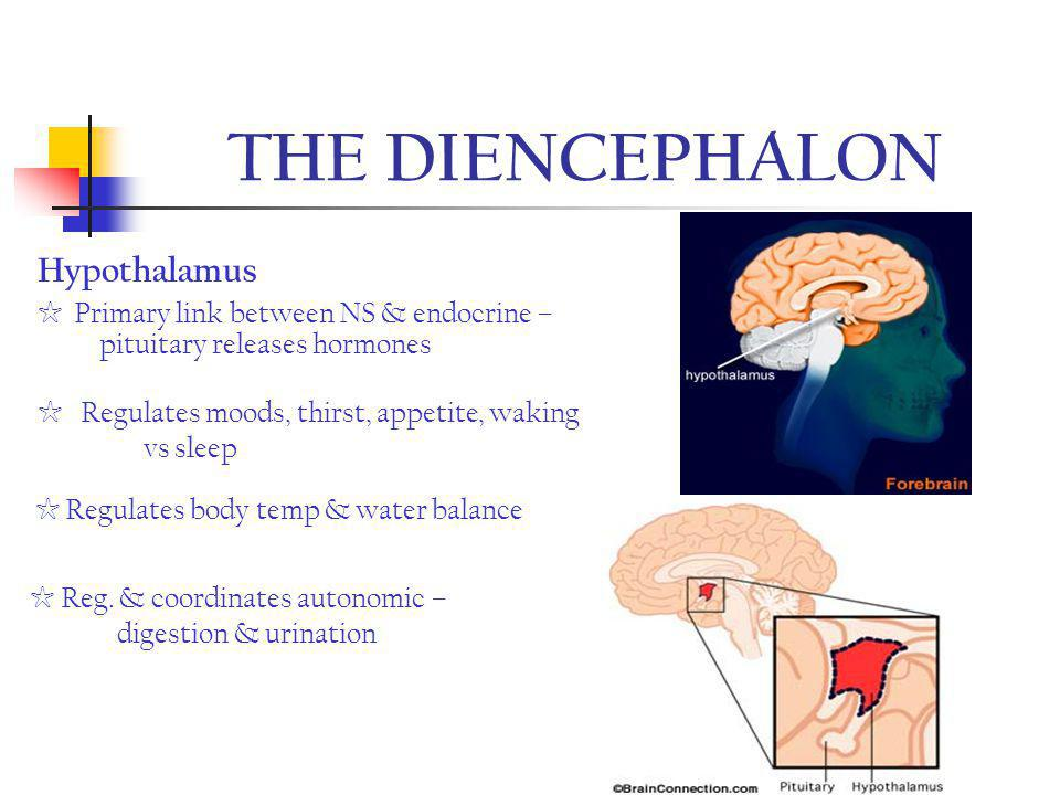 THE DIENCEPHALON Hypothalamus
