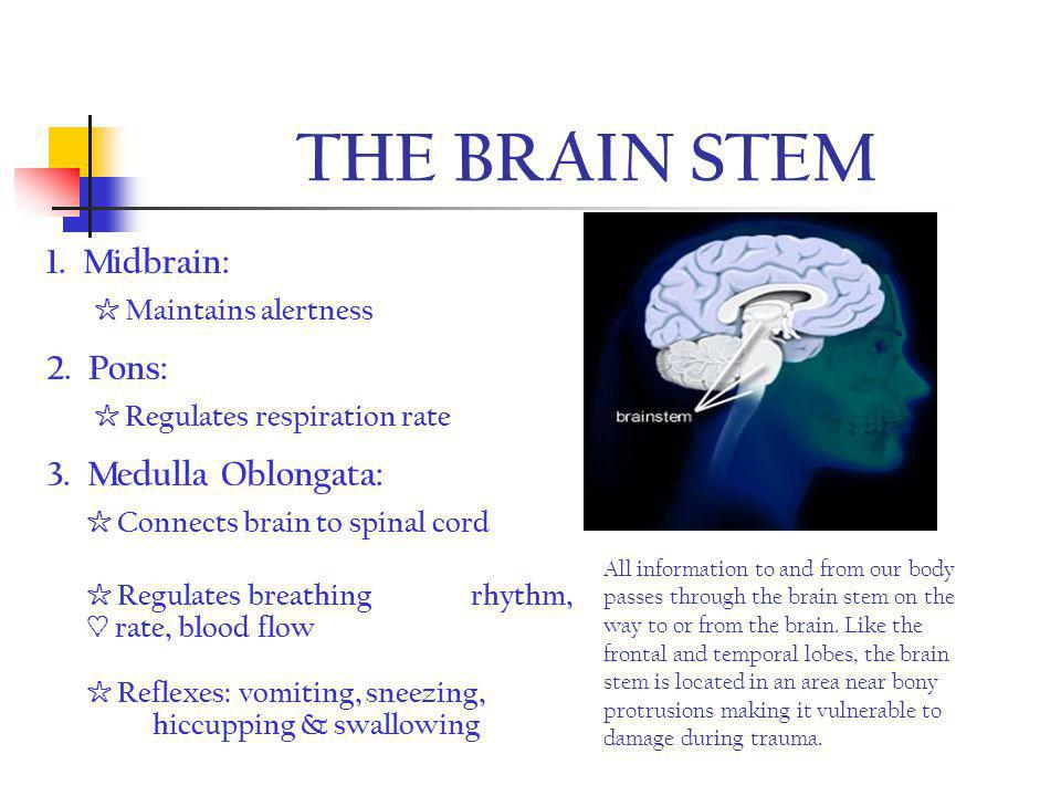 THE BRAIN STEM 1. Midbrain: ☆ Maintains alertness 2. Pons: