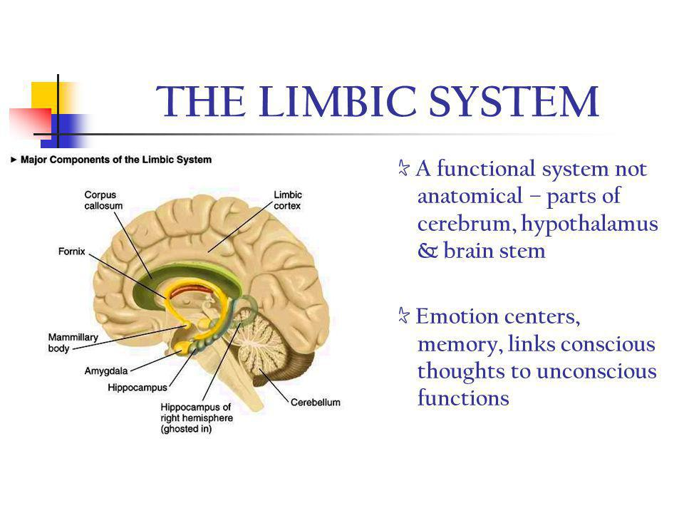 THE LIMBIC SYSTEM ☆ A functional system not anatomical – parts of cerebrum, hypothalamus & brain stem.
