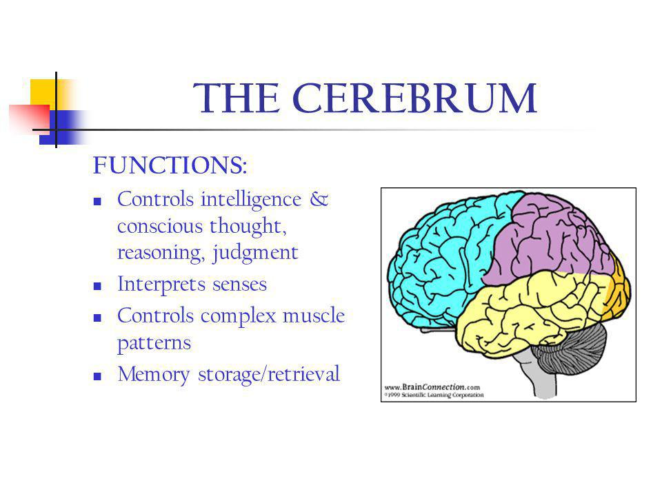 THE CEREBRUM FUNCTIONS: