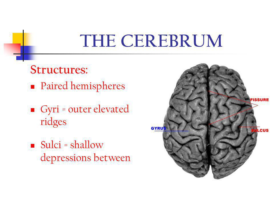 THE CEREBRUM Structures: Paired hemispheres