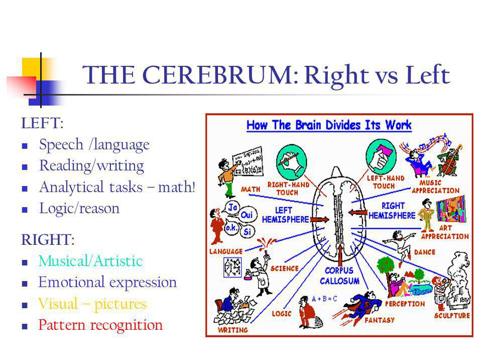 THE CEREBRUM: Right vs Left