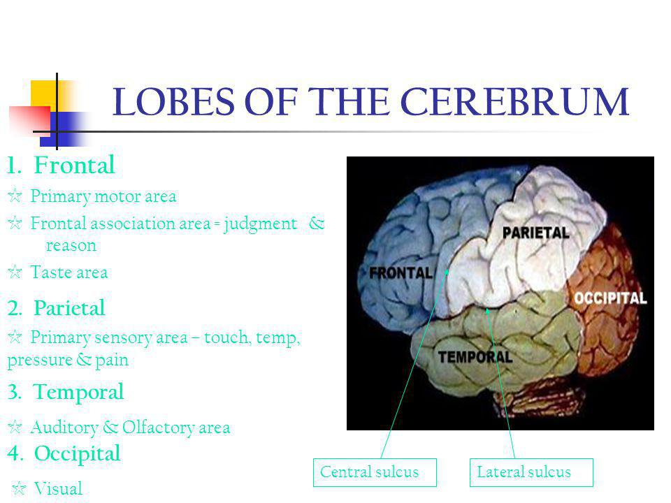 LOBES OF THE CEREBRUM 1. Frontal 2. Parietal 3. Temporal 4. Occipital