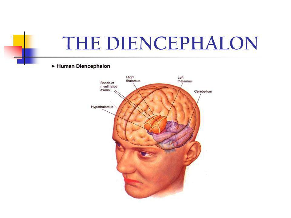 THE DIENCEPHALON