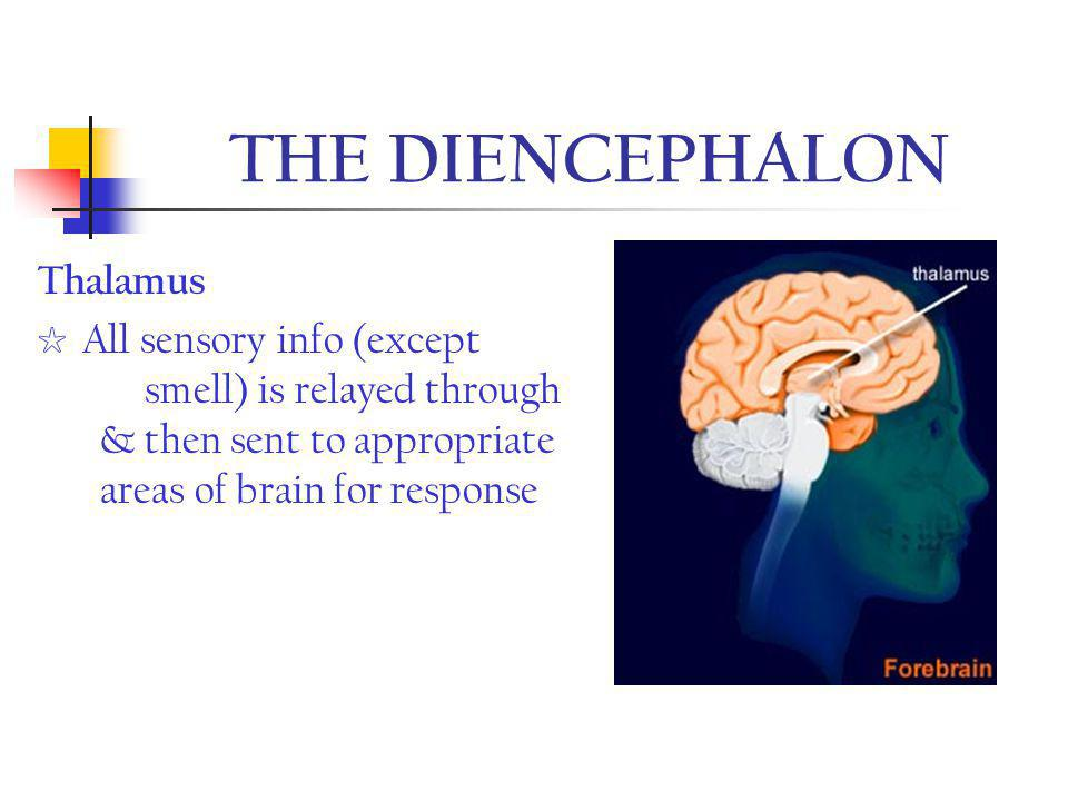 THE DIENCEPHALON Thalamus