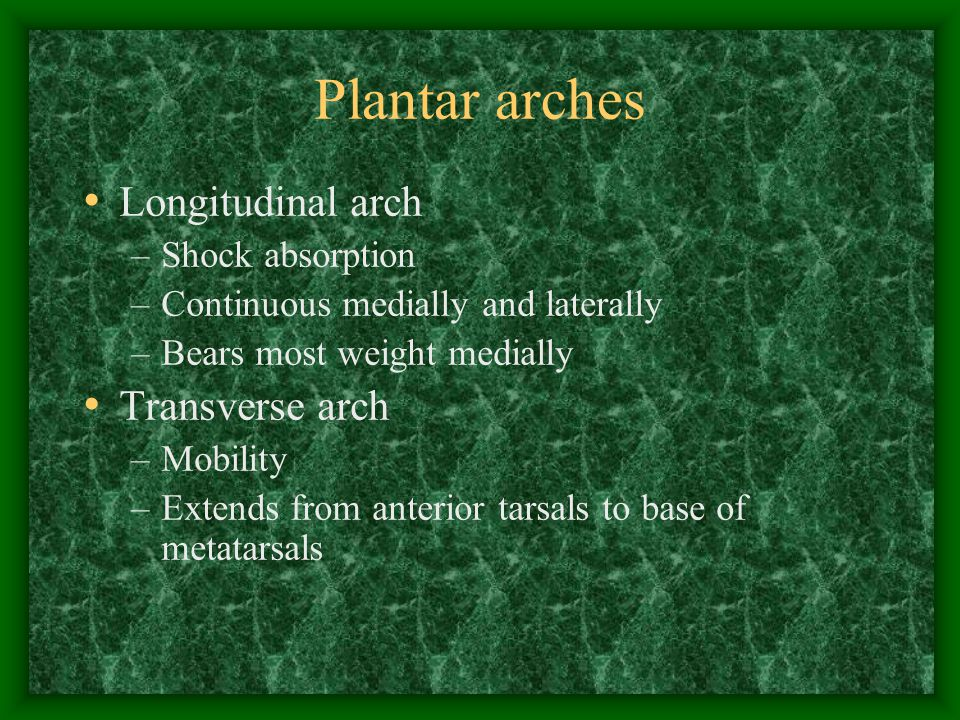 Plantar arches Longitudinal arch Transverse arch Shock absorption