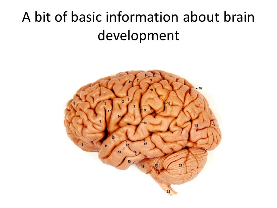 A bit of basic information about brain development