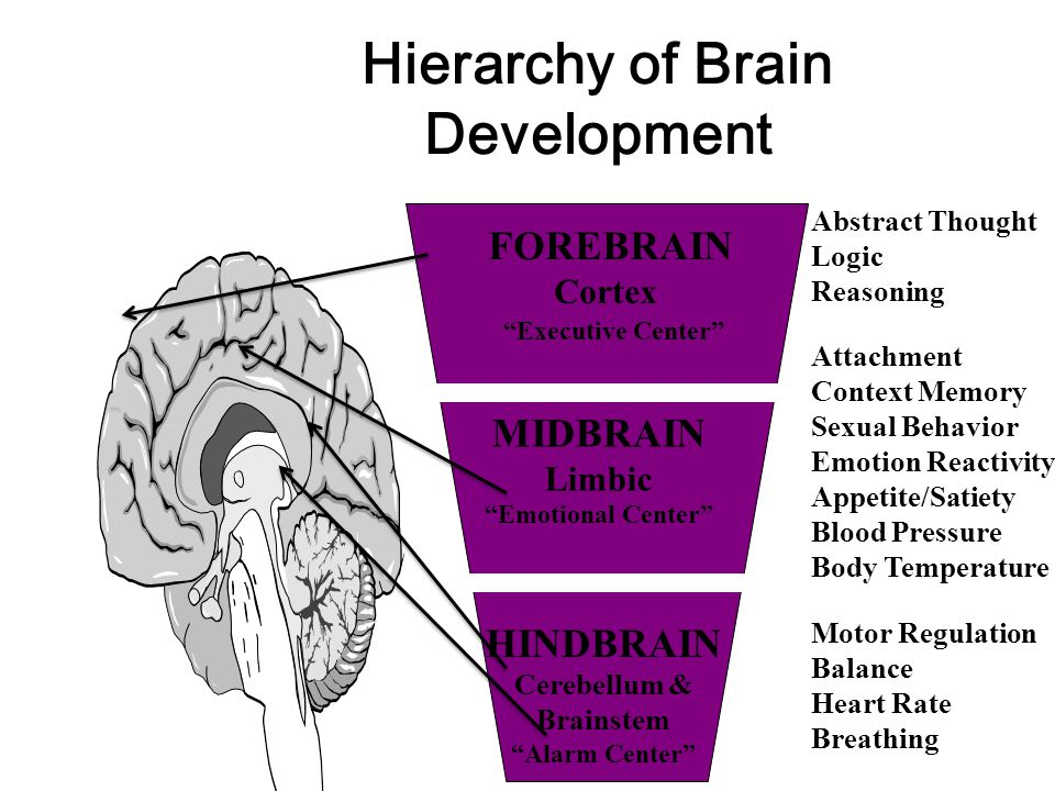 Hierarchy of Brain Development