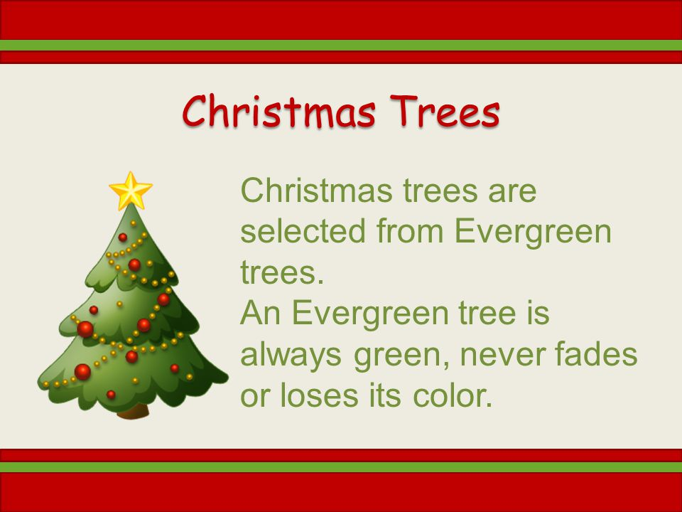 Christmas Trees Christmas trees are selected from Evergreen trees.