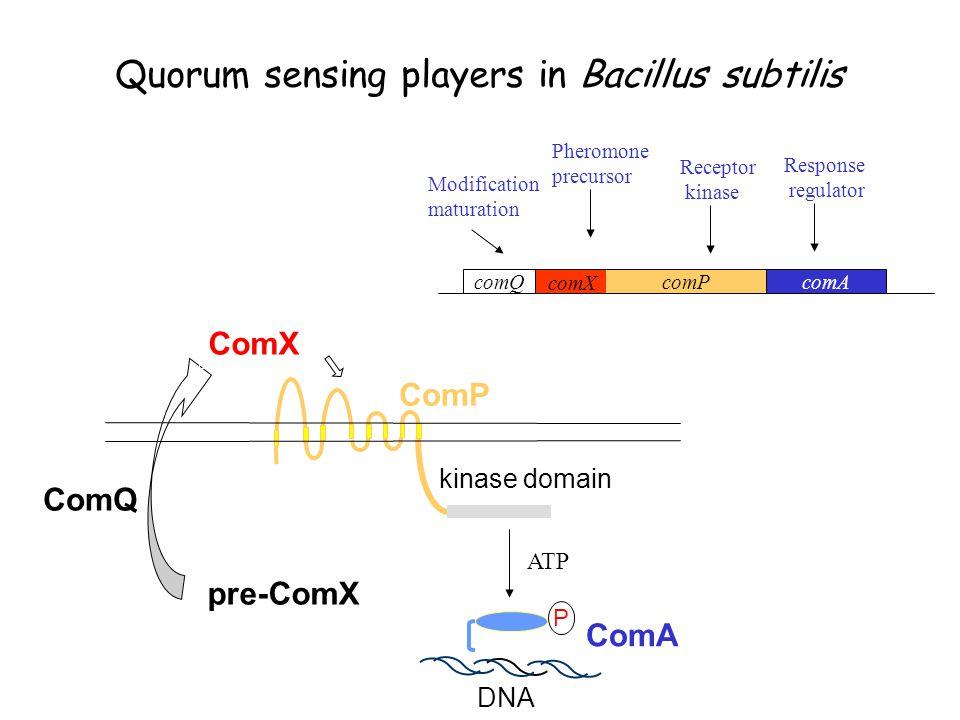 Quorum sensing players in Bacillus subtilis