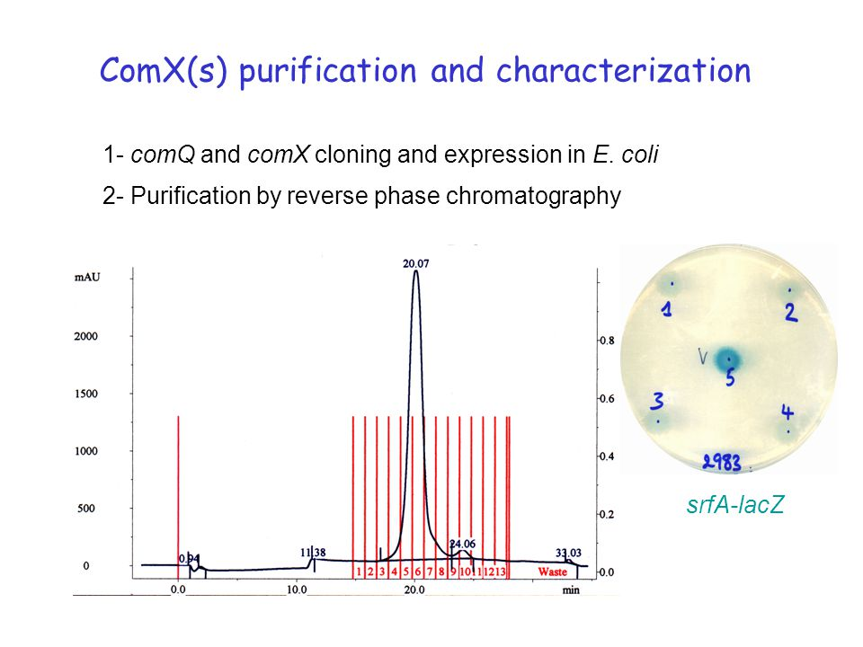 ComX(s) purification and characterization