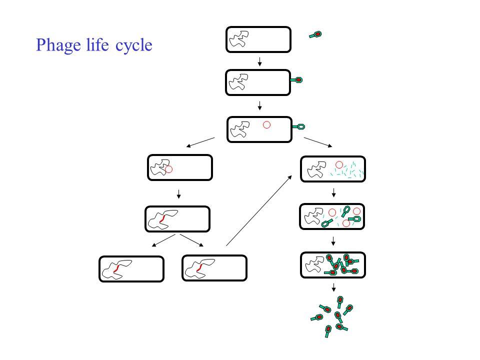 Phage life cycle