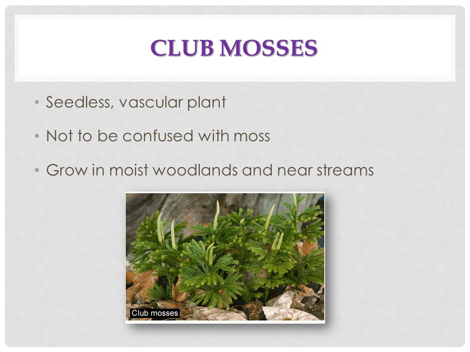 Club Mosses Seedless, vascular plant Not to be confused with moss