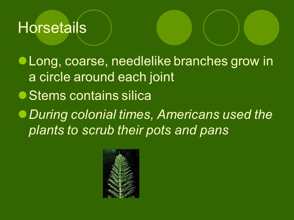 Horsetails Long, coarse, needlelike branches grow in a circle around each joint. Stems contains silica.