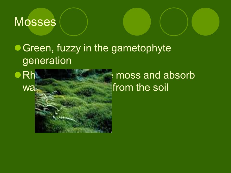 Mosses Green, fuzzy in the gametophyte generation