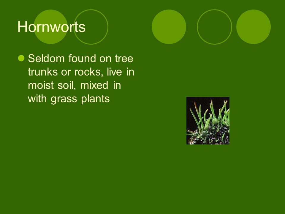 Hornworts Seldom found on tree trunks or rocks, live in moist soil, mixed in with grass plants