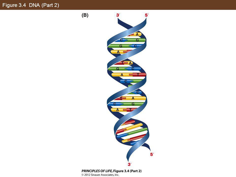 Figure 3.4 DNA (Part 2)