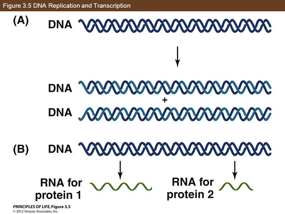 Figure 3.5 DNA Replication and Transcription