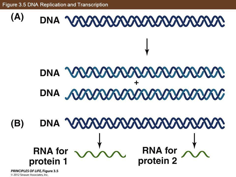 Figure 3.5 DNA Replication and Transcription
