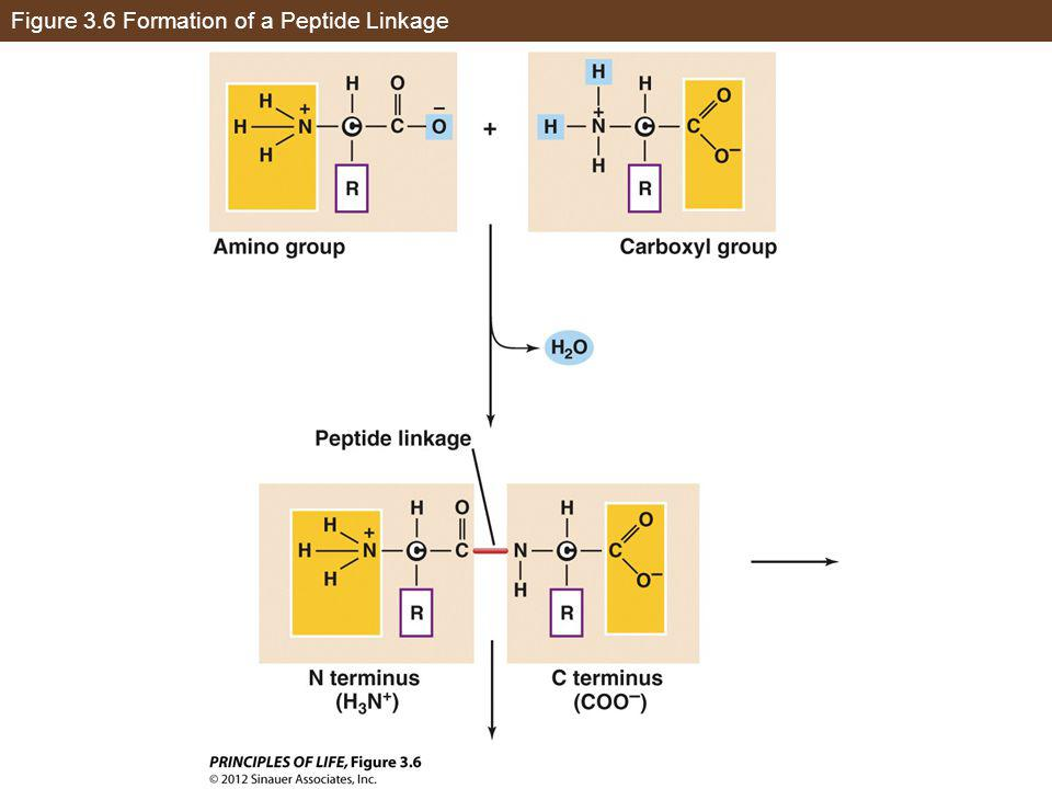 Figure 3.6 Formation of a Peptide Linkage